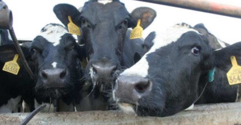 dairy cows