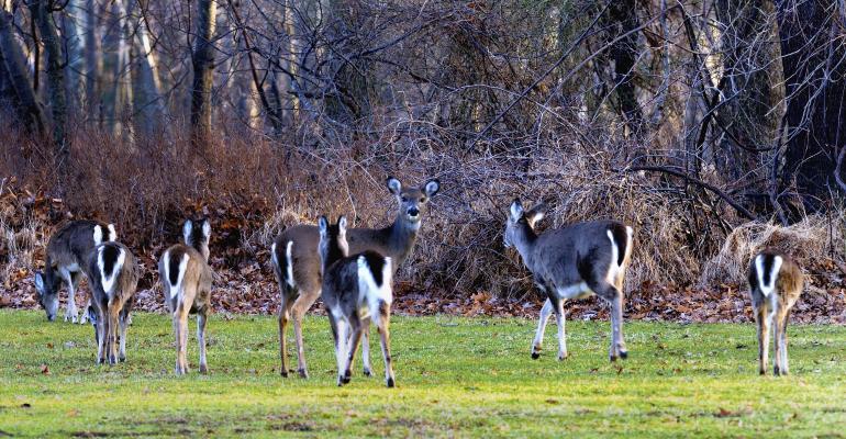 deer_white-tailed deer_zixian_iStock_515663637.jpg