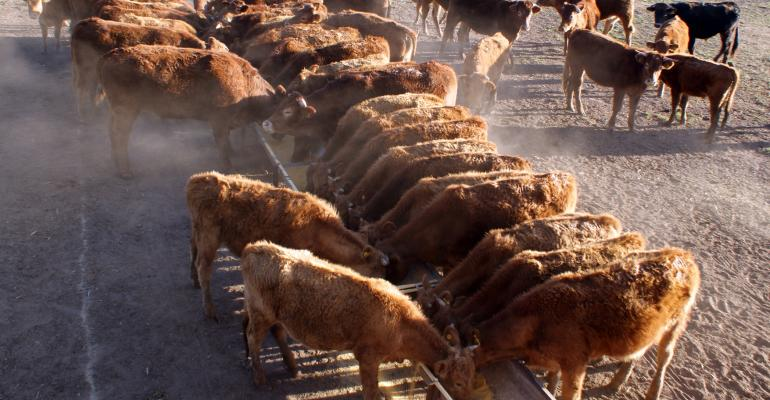 Feeder cattle at a bunk