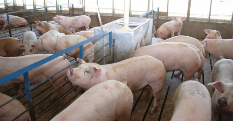 finishing pigs inside production facility