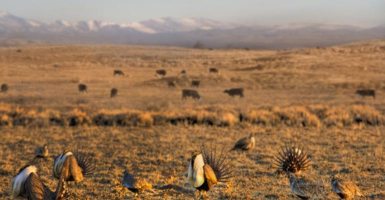 The greater sage grouse thrives in the sagebrush landscape of the West.