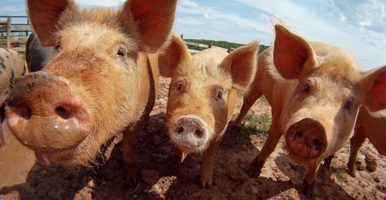 pasture raised pigs hogs