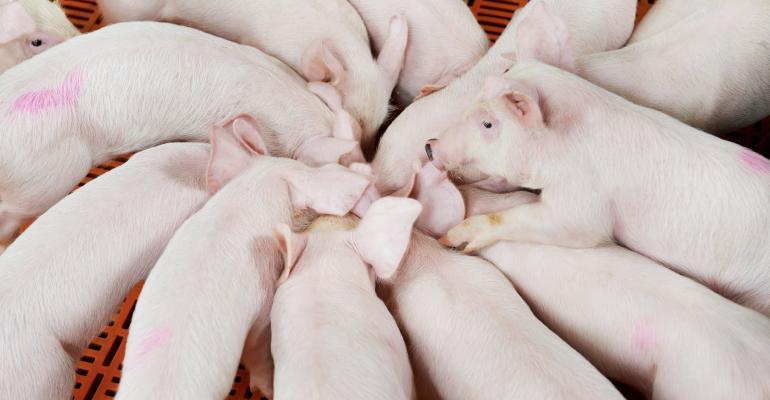 piglets in circle-shutterstock_125207630.jpg