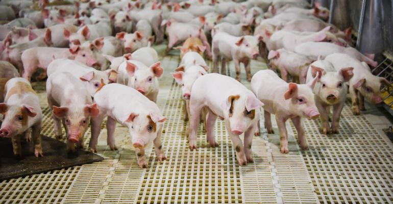 pigs - many young pigs on plastic floor_Kelli Jo_iStock_GettyImages-831729236.jpg