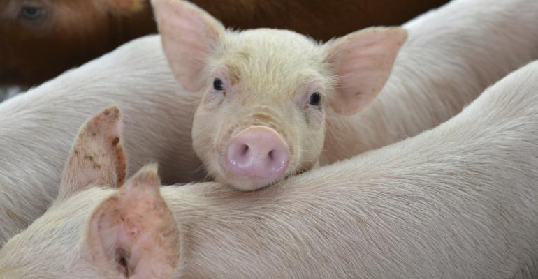 pigs_konglinguang_iStock-465365329.jpg