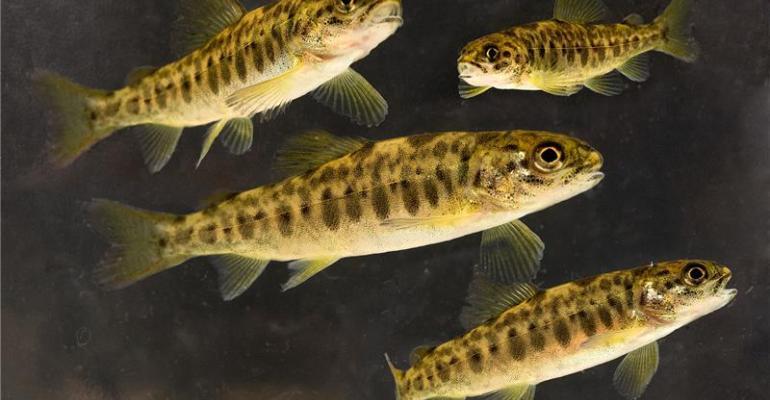 Young salmon smolt