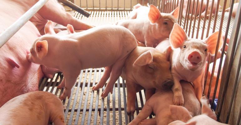 sow and piglets_rakijung_iStock_Thinkstock-492402117.jpg