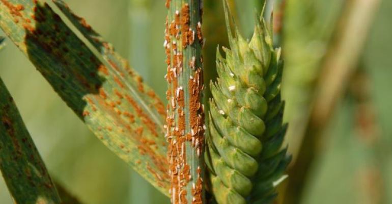 stem rust on little club wheat