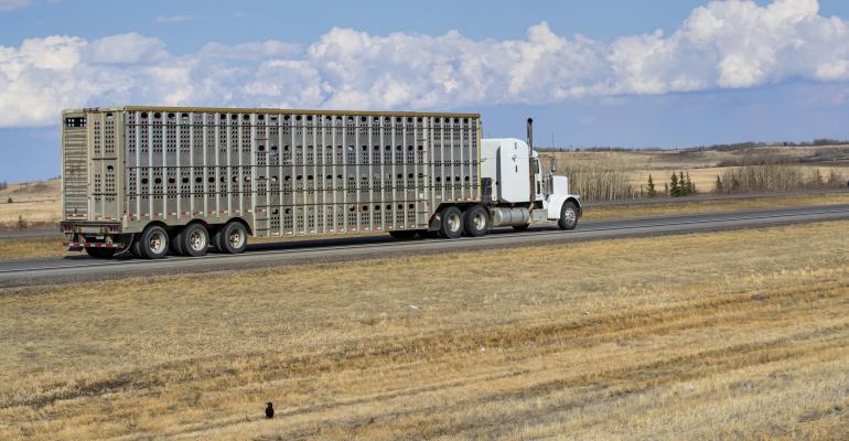 semi truck hauling livestock