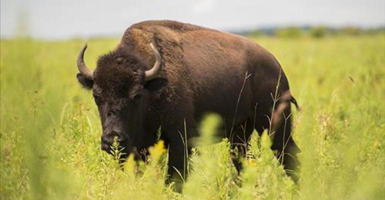 New breeding method may augment bison herd