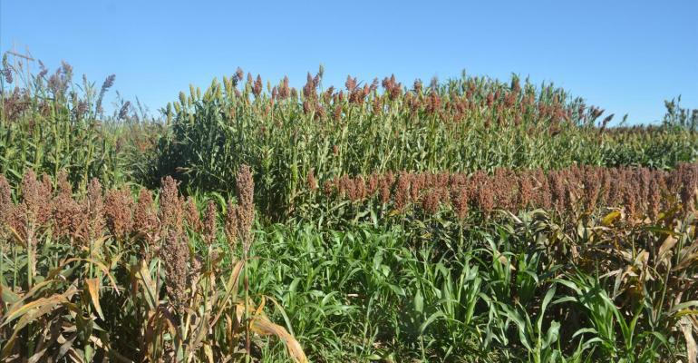 Forage sorghum management, hybrids determine silage value