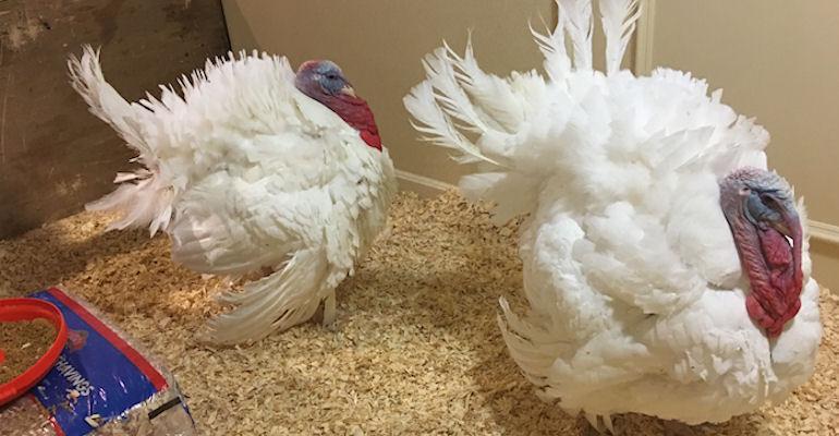 Pardoned turkeys find new home at Virginia Tech