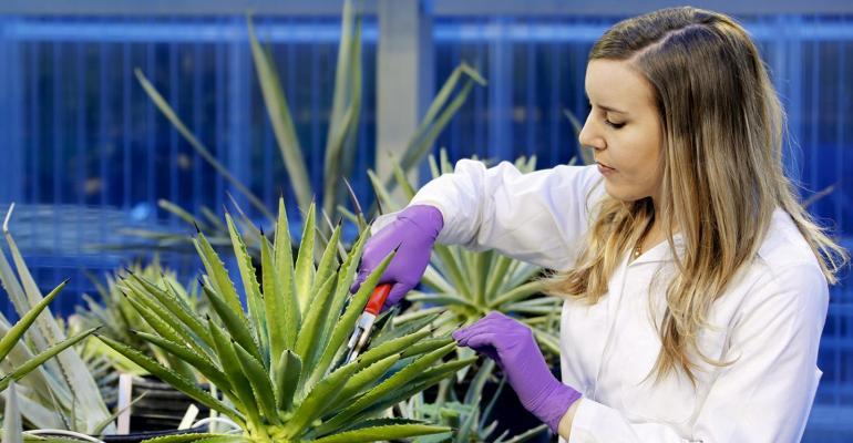 Semi-arid plants offer clues for drought tolerance
