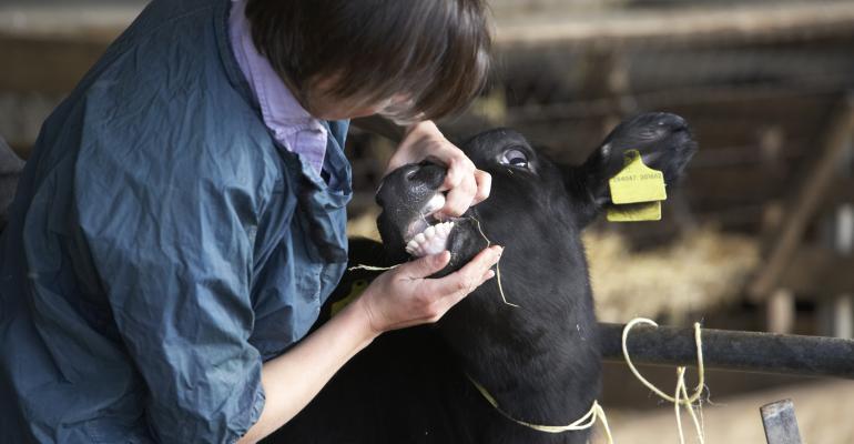 vet examining calf-shutterstock_31669666.jpg