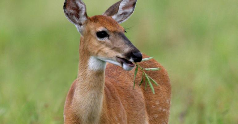 white-tailed deer_Purestock_72968629 cropped.jpg