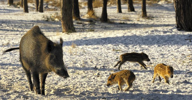 wild boars in snow