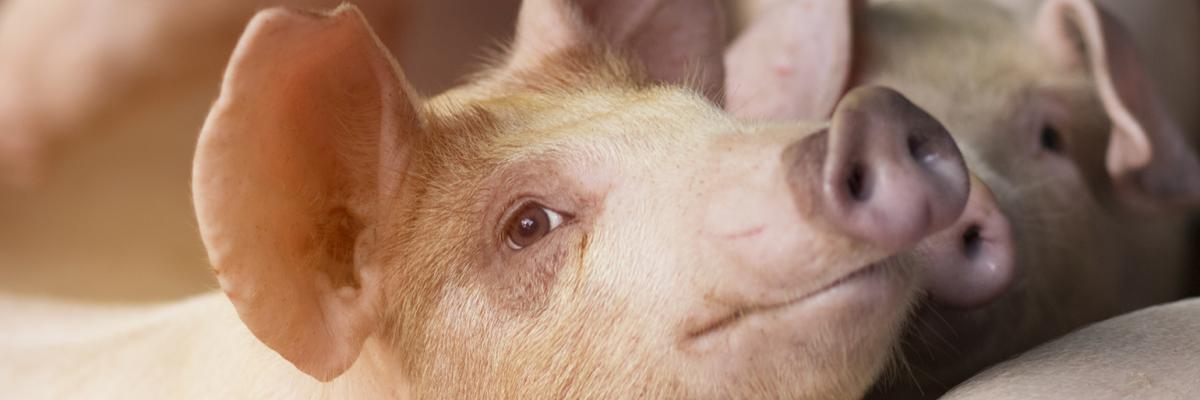 Top tips to eliminate feeding challenges for growing pigs