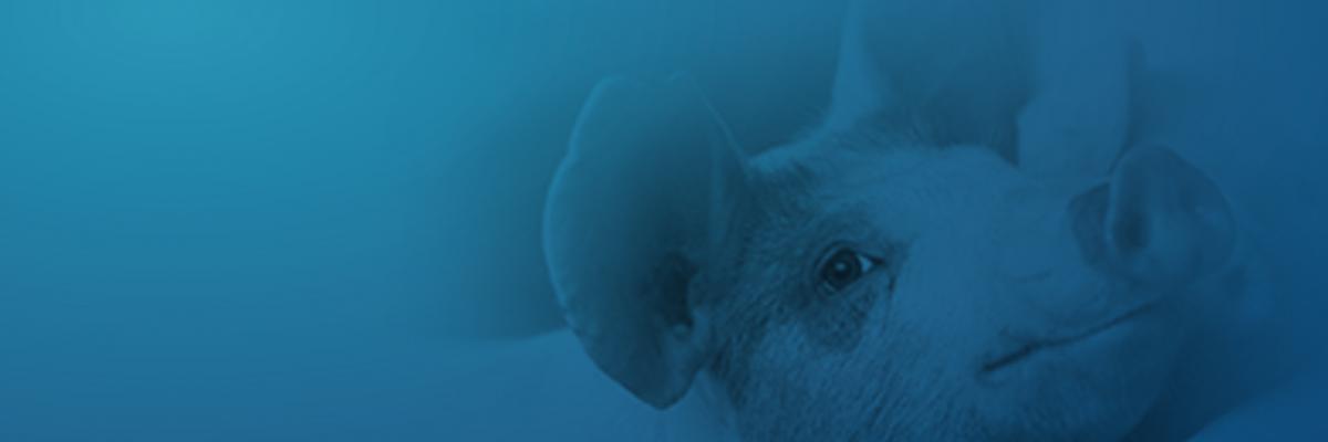 Taking down a costly swine disease