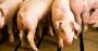 BI pigs.png