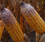 OhioSt DON corn.png