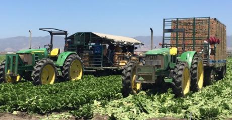 Romaine lettuce harvest in California