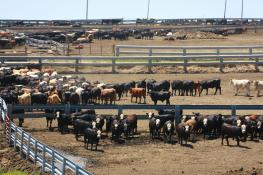 Cattle in Nebraska feedlot
