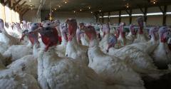 FFAR TARV turkey.jpg