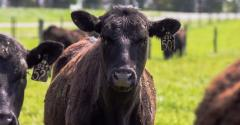 MDARD beef cattle cropped.jpg