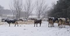 Penn State Salfer winter dairy cows.jpg