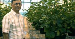 Texas AgriLife Rathore low gossypol cotton.jpg