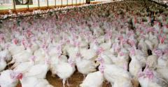 turkeys in barn