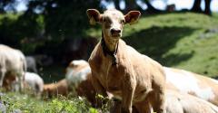 UKent IVF calf.jpg