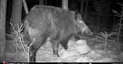 VAAFM feral boar.jpg