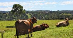 beef cows on hill
