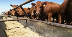 cattle at feed bunk_Tyler Olson_Hemera_93625869.jpg