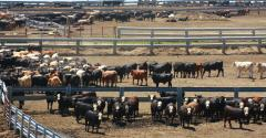 Cattle in Nebraska feedlot