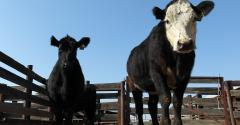 cattle in California_David McNew_Stringer_Getty Images News-467012475.jpg