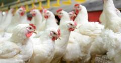 chickens - white broilers_buhanovskiy_iStock_Thinkstock-469506120.jpg