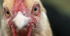chickens-rooster closeup-shutterstock_127926545.jpg