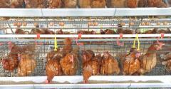 chickens_egg-laying hens-shutterstock_88328134.jpg