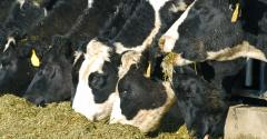dairy cows eating silage-shutterstock_24145258.jpg