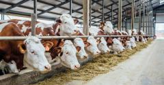 dairy cows in freestall barn brown and white_Vladimir Zapletin_iStock_Getty Images-877842656.jpg