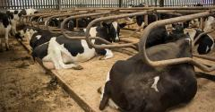 dairy cows lying around_Hillview1_iStock-484348448.jpg