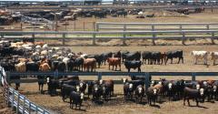 feedlot cattle in Neb_DarcyMaulsby_iStock_Thinkstock-538600808.jpg