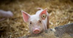 young pig in barn with straw_borevina_iStock_Getty Images-961585720.jpg