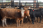 LIVESTOCK MARKETS: Cattle market pressured by heavier weights