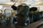 Lactation, weather predict milk quality in dairy cows