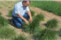 Mediterranean grasses good option for perennial pastures
