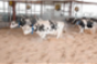 Kentucky dairy cows move into comfy new barn