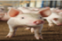 Nursery weight predicts finishing pig performance